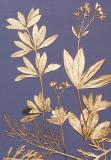 Botanic Gold  NEW !  card range : BG24  Sweet Woodruff